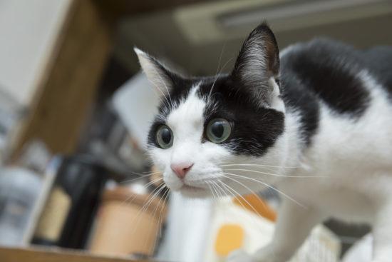 獲物を狙う白黒の猫